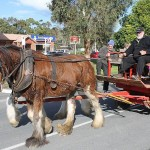 Riding in style: these beautiful Clydesdales were taking families on laps of Meeniyan during Saturdays Meeniyan of Fire celebrations.