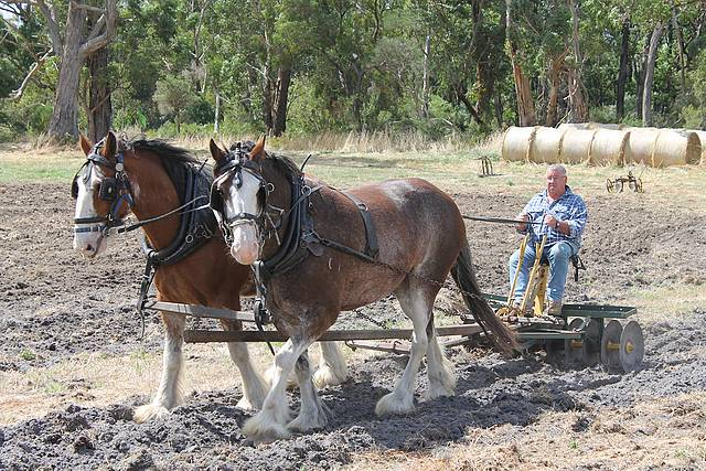 Horse power: Geoff Peters from Longford had Mate and Will under control at the Korumburra Working Horse and Tractor Rally on Sunday.