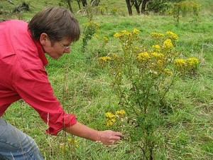 Act now: Sharyn Allott of Welshpool points out some ragwort growing in South Gippsland. To learn more about ragwort, contact Landcare.