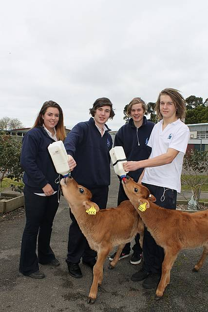 Jersey sure: from left, Korumburra Secondary College students Tash Lacy, Jordan Bell, Spencer Foster and Justin Stewart give calves Sharon and Brian their afternoon feed. The calves are at the school as part of the Cows Create Careers program.